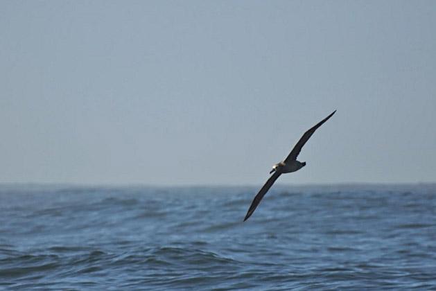 Albatross, Foto: John Krzesinski